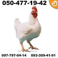 Цыплята бройлеры COBB 500 КОББ 500 ПОДРОЩЕННЫЕ (под забой)