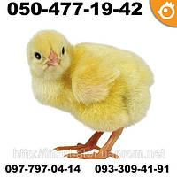 Цыплята бройлеры COBB 500 КОББ 500 СУТОЧНЫЕ