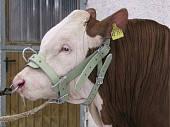 Недоуздок для быков