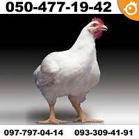Цыплята бройлеры ROSS 308 РОСС 308 ПОДРОЩЕННЫЕ (ПОД ЗАБОЙ)