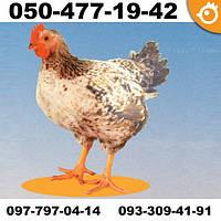 Цыплята суточные Мастер Грей (Master Grey) - мясо-яичные