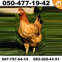 Куры Тетра Н (Tetra-H) - мясо-яичные