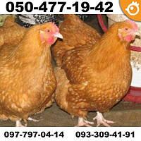 Куры Фокси Чик (Foxy Chick) - мясо-яичные
