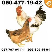 Куры Авиколор (Avicolor) - мясо-яичные