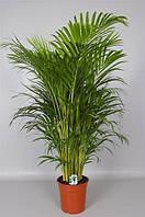 Пальма Арека 1-1,1м.