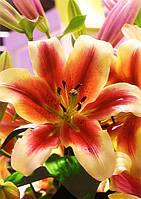 Лилия ОТ гибрид Holland Beauty / Холланд Бьюти
