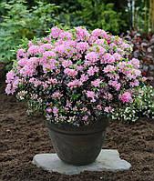 Азалия японская Kermesina rosea