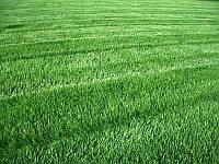 "Рулонный газон ""городской"" засухостойчивый"