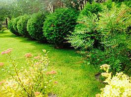 В окружении вечнозеленых