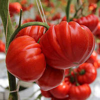 САРРА F1 / SARRA F1 — томат индетерминантный, Clause 250 семян