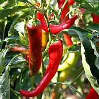 ПОСЕЙДОН / POSEYDON — перец острый, Moravoseed 25 грамм семян