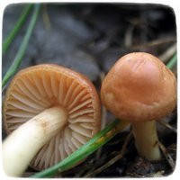 Мицелий гриба Опенок Луговой, 10г