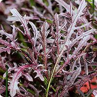 МИЗУНА КРАСНАЯ / MIZUNO RED — салат, Hortus 50 грамм