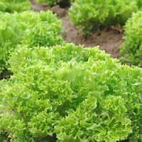 Рекорд / record — салат, moravoseed 10000 семян