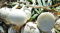 ПРИМО БЛАНКО F1 / PRIMO BLANKO F1 — Лук Репчатый,  LibraSeeds (Erste Zaden), 250 000 семян