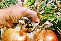 ЛЕГАСИ F1 / LEGASI F1 — лук сортовой,  Erste Zaden 250 000 семян