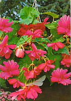 Бегония Ампельная Розовая / 1 клубень
