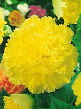 Бегония Фимбриата Желтая / 1 клубень
