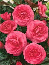Бегония махровая Розовая / 1 клубень