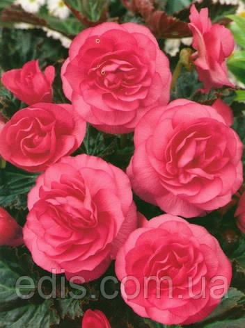 Бегония махровая Розовая / 1 клубень, фото 2