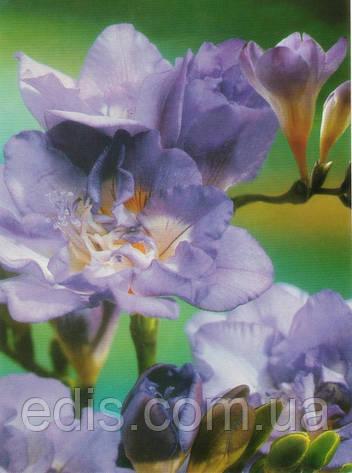 Фрезия махровая Blue / Голубая / 5 луковиц/уп., фото 2