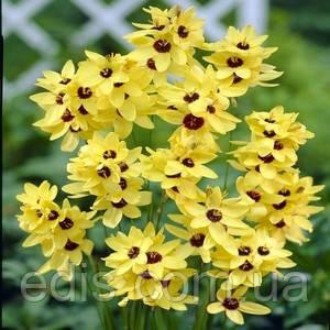 Іксія Yellow Emperor / Єллоу емпера / 5 цибулин/уп., фото 2