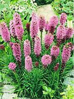 Лиатрис лиловый Spicata / 5 клубней