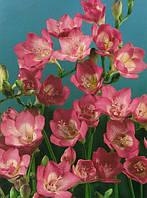 Фрезия простая Rose / Розовая / 5 луковиц/уп.