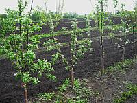 Плодовые деревья. Саженцы., фото 1