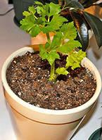 Сельдерей листовой