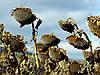 Десикант Реглон Супер (дикват, 150 г/л), фото 2