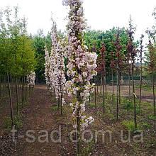 Сакура Amanogawa (Аманогава) від 1,5 м-1.8 відкрита коренева система.
