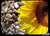 Насіння соняшнику Рімі екстра (Нові Сад, Сербія), Рими