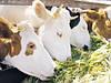 Висока молочна продуктивність корів – результат правильної годівлі