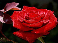Роза Алекс