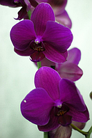 Орхидея сиреневая 1 цветонос