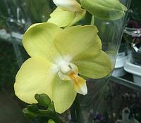 Лимонная орхидея 2 цветоноса