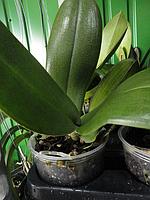Отцветшие орхидеи Фаленопсисы на 1 цветонос