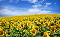 Импорт семян подсолнечника увеличился на 45%