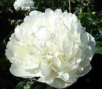 Пион молочноцветковый Snow Supreme (Сноу Суприм)