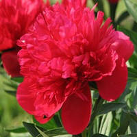 Пион высокорослый Red Supreme (Ред Суприм)