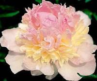 Пион высокорослый Raspberry Sundae (Респберри Сандей)