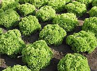 Салат листовой Златава SEMO 5000 семян, фото 1