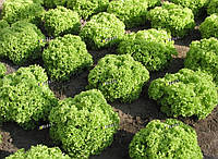 Салат листовой Златава SEMO 5000 семян