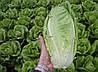 Салат Гелбус SEMO 5000 семян