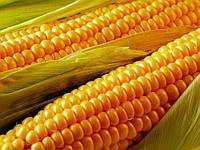 Насіння кукурудзи НС 2014 урожай 2015 року (сербської селекції)