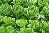 Салат Меркурион SEMO 5000 семян