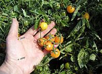 Томат Миниголд  SEMO 1000 семян