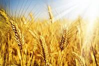 Пшеница озимая Антоновка
