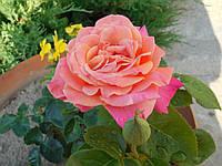 Саженцы Чайно-гибридных роз Лолита